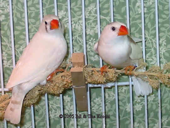 Differences Between Males and Female Zebra Finches  Eglu
